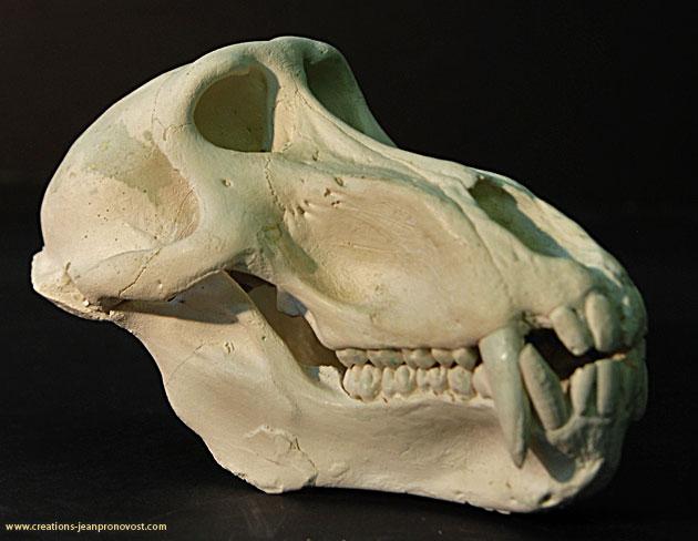 Moulage de crâne de babouin
