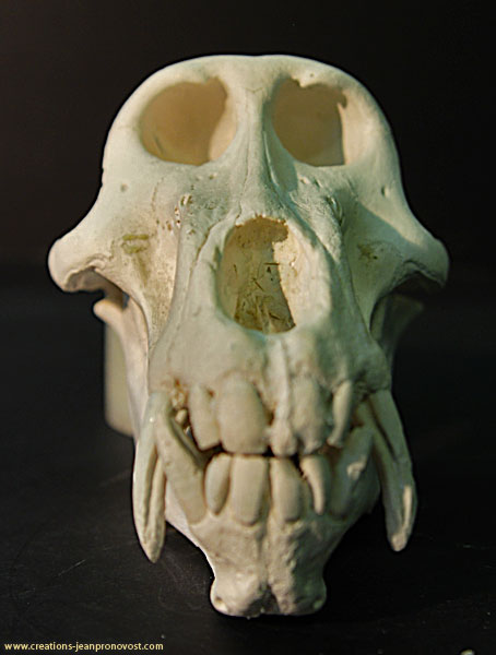 On voit ici le moulage du crâne de babouin de face.