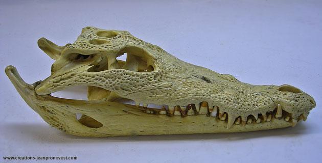 Crâne original de crocodile africain
