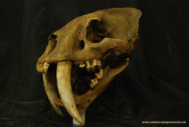 Saber tooth tiger skull - Sculpture and molding Montreal